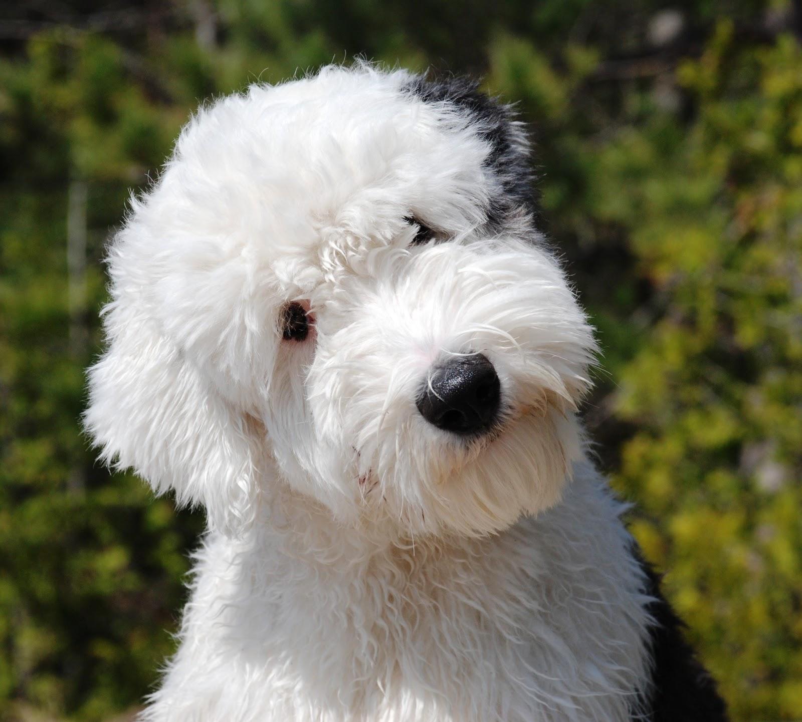 english sheepdog puppy