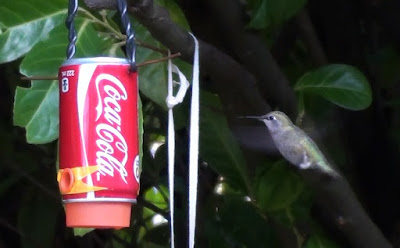grey hummingbird hovering in front of feeder made from Coca-Cola can