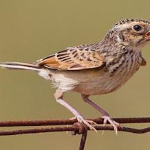 Ciri Ciri Dan Cara Perawatan Burung Branjangan Over Birahi