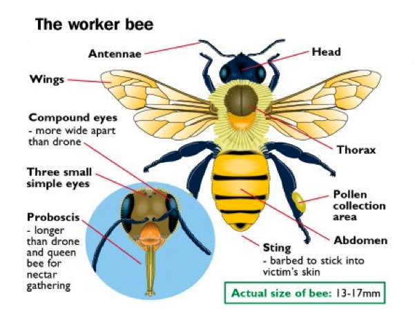 Hornet Anatomy Diagram 2003 Vw Jetta Monsoon Wiring Honey Bee New Era Of The Lions Times Types Bees In Pyrenees Bumble Body