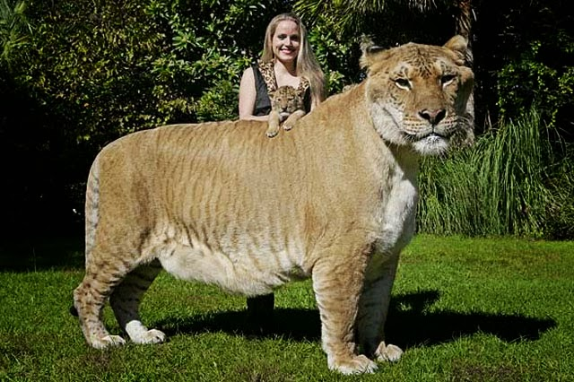 on october 29th 2008 a liger named rocky attacked a volunteer at the wagoner county wildlife sanctuary in oklahoma during feeding the 32 year old victim - Biggest Cat In The World Guinness 2013