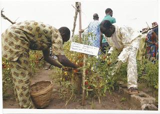 veggies farming, tomato farming