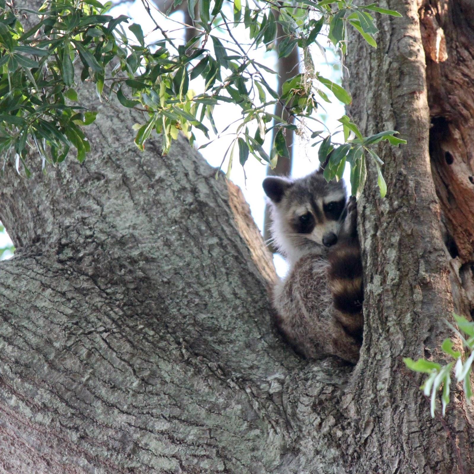 metamorphosis mama raccoon