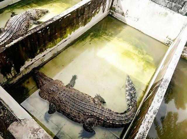 Wisata Taman Buaya Dan Reptil Di Mengwi Badung Bali Terbaru