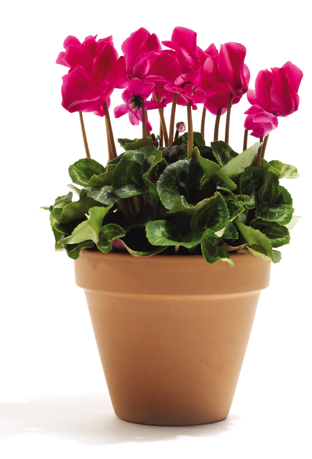 Cyclamen Plant Care Growing Tips Cutting Planting: Green Girly: Cyclamen Plant Care