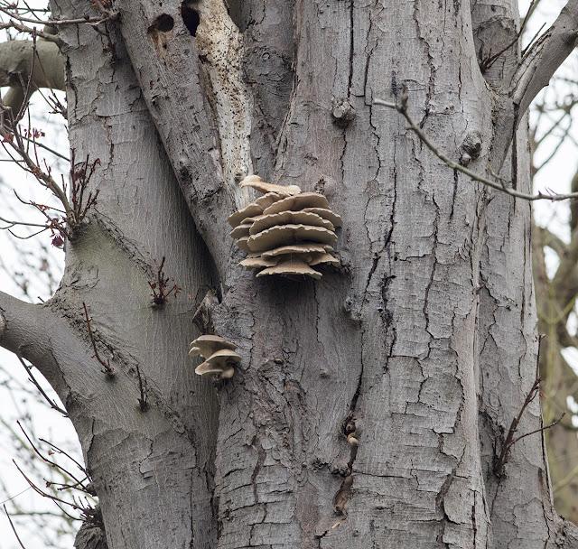 Pleurotus ostreatus, Oyster Mushroom, on Horse Chestnut.  The Knoll, Hayes, 10 December 2016.
