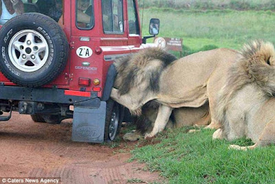 Safari tour guide captured intense moment lions tried wreaking the vehicle
