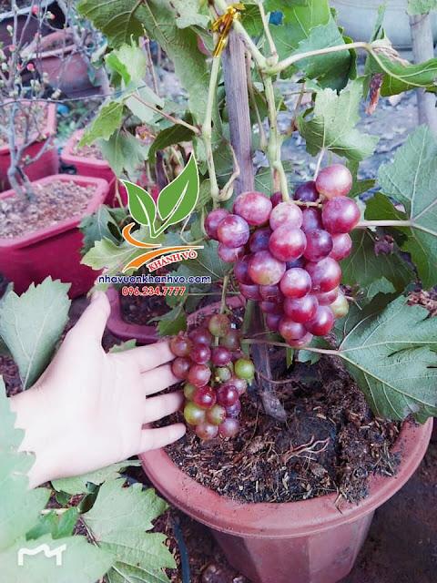 Nho Pháp trồng tại Việt Nam dễ vậy sao ?