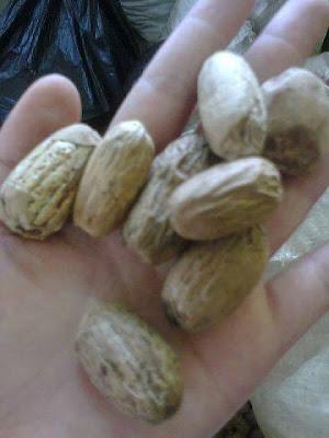 ini buah pala yg tepat dari buah pala kocak yg d kupas dan di pilih lagi yg memp Buah Pala lonjong kupas Fak Fak