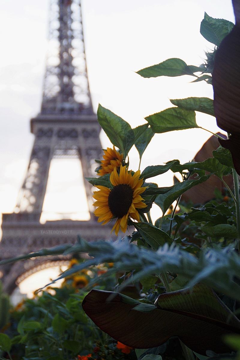 Sonenblumen vor dem Eiffelturm in Paris zum Sonnenuntergang // Sunflowers and Eiffel Tower at sunset in Paris | Tasteboykott