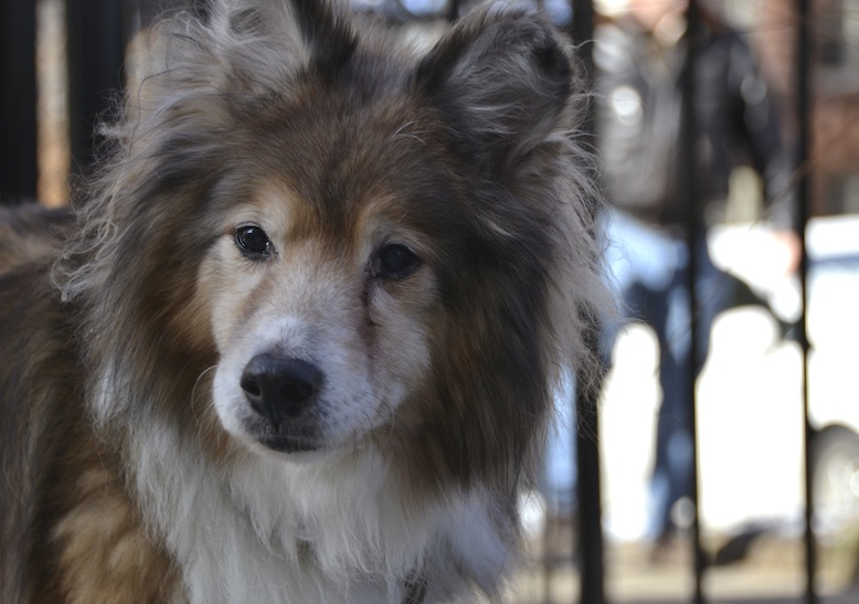 Lucky, the abused and abandoned sheltie, gets a second and a forever home
