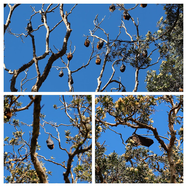 Flying foxes hanging from trees in Lachlan Swamp in Centennial Park in Sydney Australia