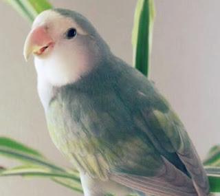 Jenis Lovebird Pastel