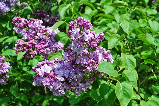 Lilac in Withdean Park