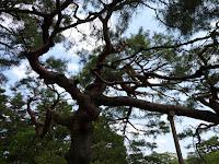 京都御苑 松