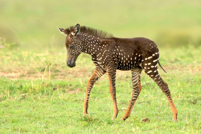 Rare Baby Zebra Was Born With Spots Instead Of Stripes, And It Stole Our Hearts