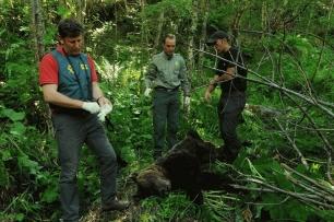 Encuentran muerto a un oso pardo en León