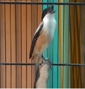 Burung Cendet - Setelan dan Pola Perawatan Harian Burung Cendet - Penangkaran Burung Cendet
