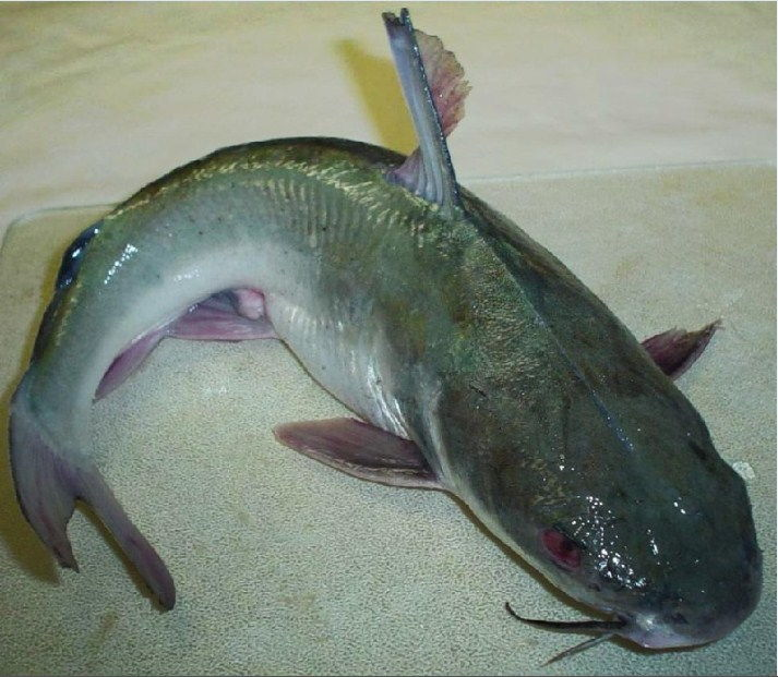 umpan mancing ikan patin di danau