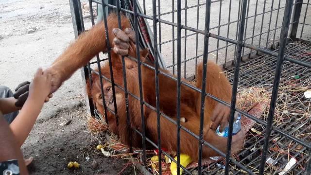 Pemerintah Diminta Pulangkan Orangutan yang Dicekoki Narkotika di Kuwait ke Indonesia