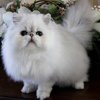 Harga kucing persia terbaru dan terupdate