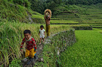 Ifugao Father Carrying Rice Stalk Harvest with son and daughter
