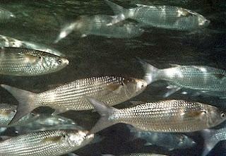 6 Khasiat Ikan Belanak Untuk Kesehatan