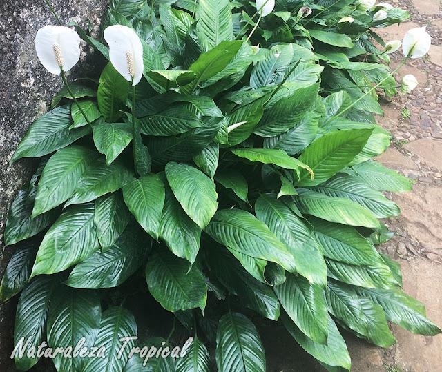 Espatifilo, género Spathiphyllum