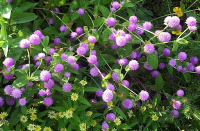 Amaranto: una planta ideal para perder peso y reducir el colesterol