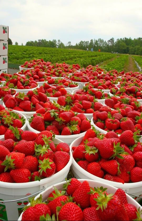 Morangos | Strawberries