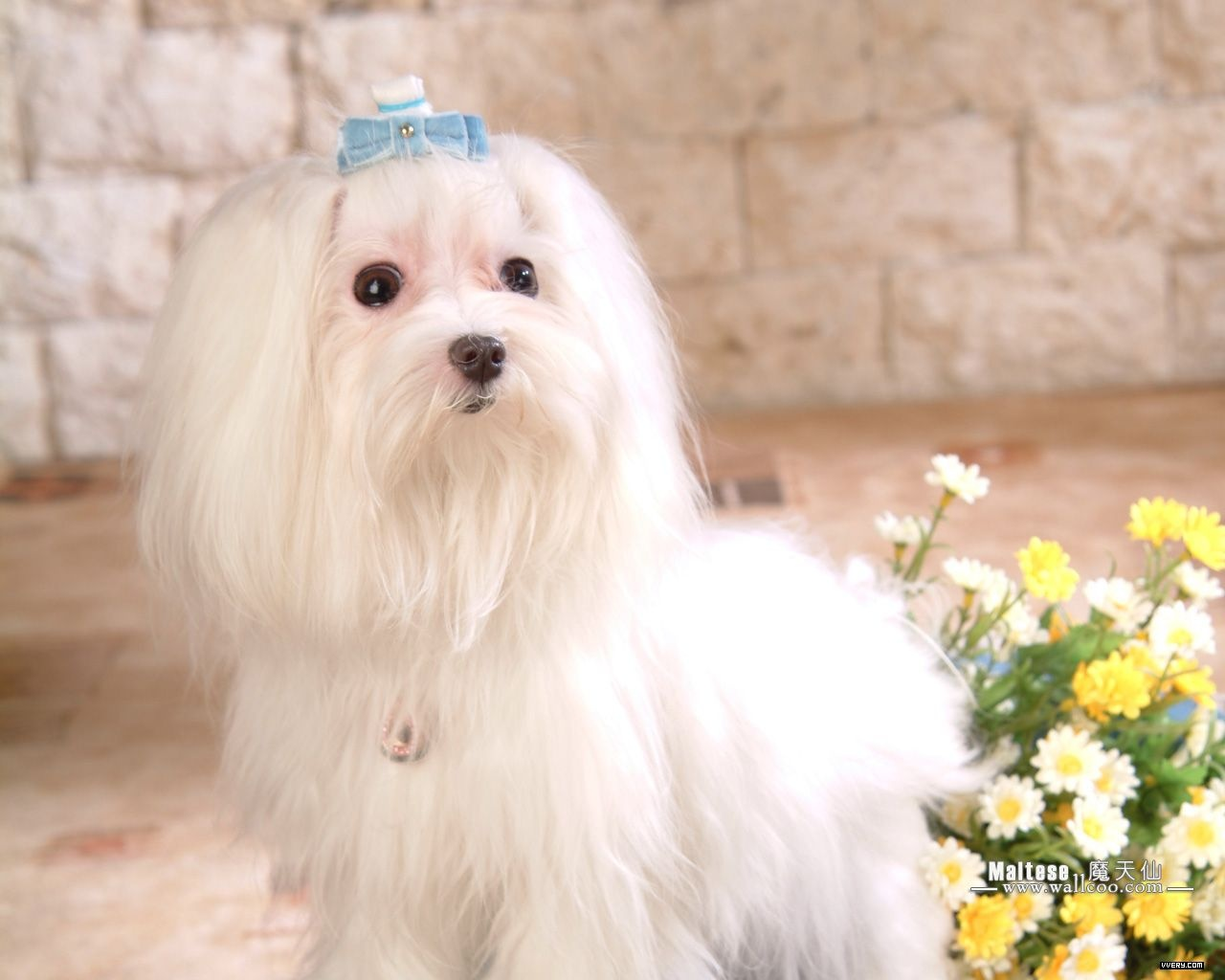 Cute Little Puppies Wallpapers Maltese Wallpapers Fun Animals Wiki Videos Pictures