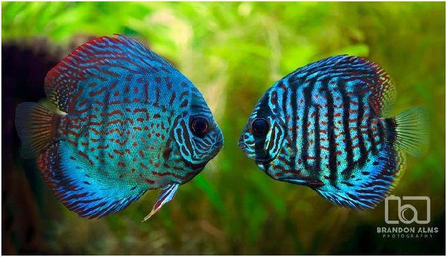 Gambar Ikan Hias Cantik – Ikan Discus