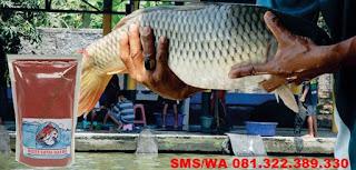 Umpan Ikan Mas Indukan
