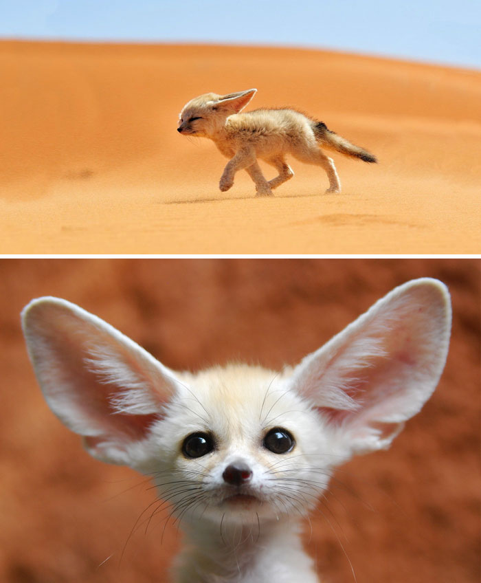 #1 Baby Fennec Fox - 10 Rare Animal Babies You've Probably Never Seen Before