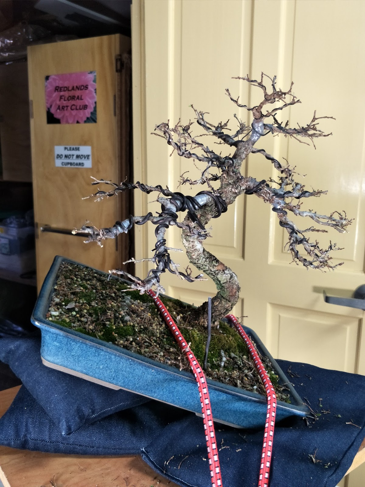 Pleasant Redlands Bonsai Society July 2017 Wiring Cloud Oideiuggs Outletorg