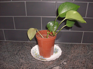 pathos, china saucer, teacup, pothos