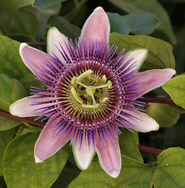 Where to buy passion flower drops