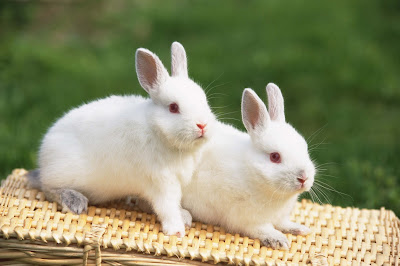 white-soft-mammal-rabbit-imgs