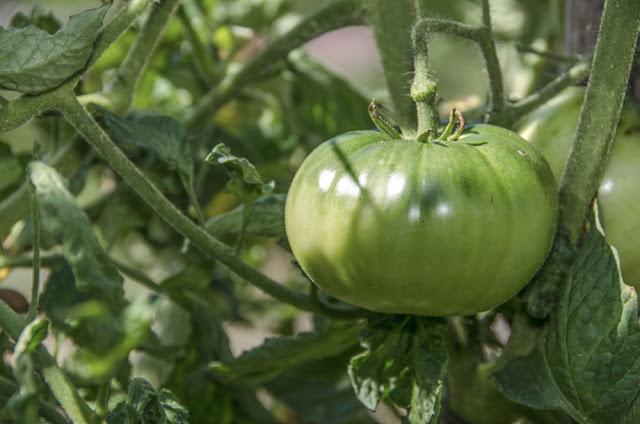 Green Tomato - solanum lycopersicum
