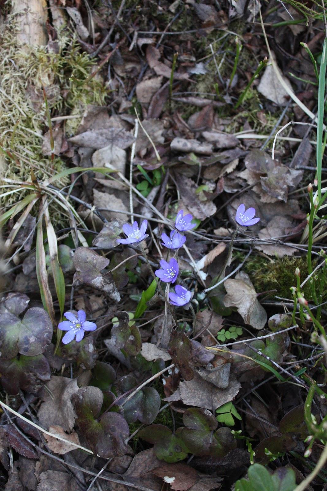 kukka sinivuokka metsä