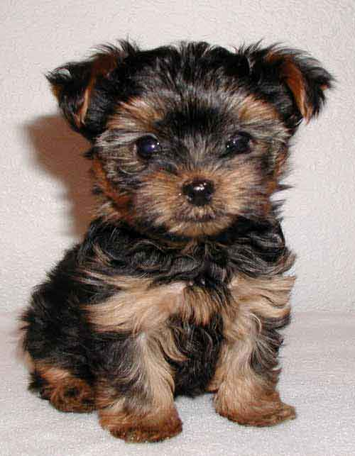 yorkie terrier dogs puppy time the yorkshire terriers yorkies 3704