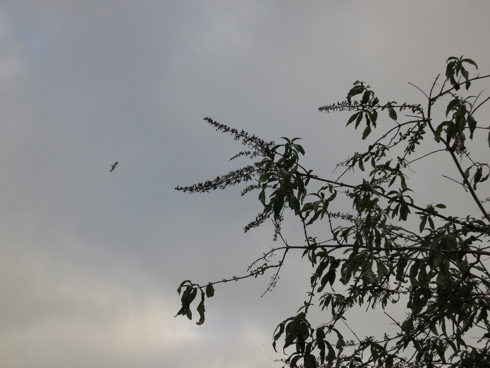 Dead Buddleia flowers and leaves silhouetted against a grey sky.