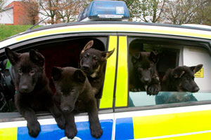Five puppies in a static police car hanging out of the windows