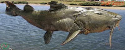 dwarf goonch, dwarf goonch fish, বাঘাইর মাছ