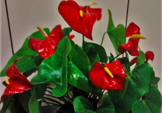 La ventana de javiruli plantas de interior 30 anturio for Anturio cuidados