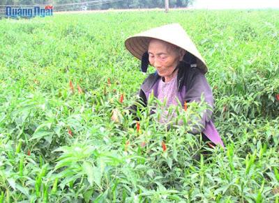 Quảng Ngãi Nông dân lại đánh bạc với cây ớt