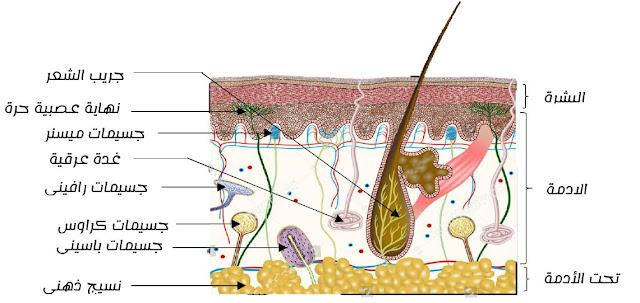 رسم تخطيطي لبنية الجلد و المستقبلات الحسية مع البيانات جاهز للطباعة