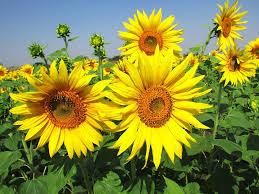 Sekilas Tentang Bunga Matahari Serta Manfaatnya