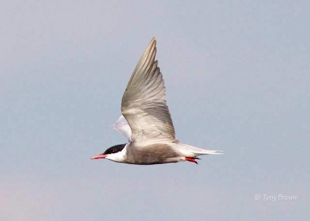 Biezbra Marshes, Marsh Terns, Poland