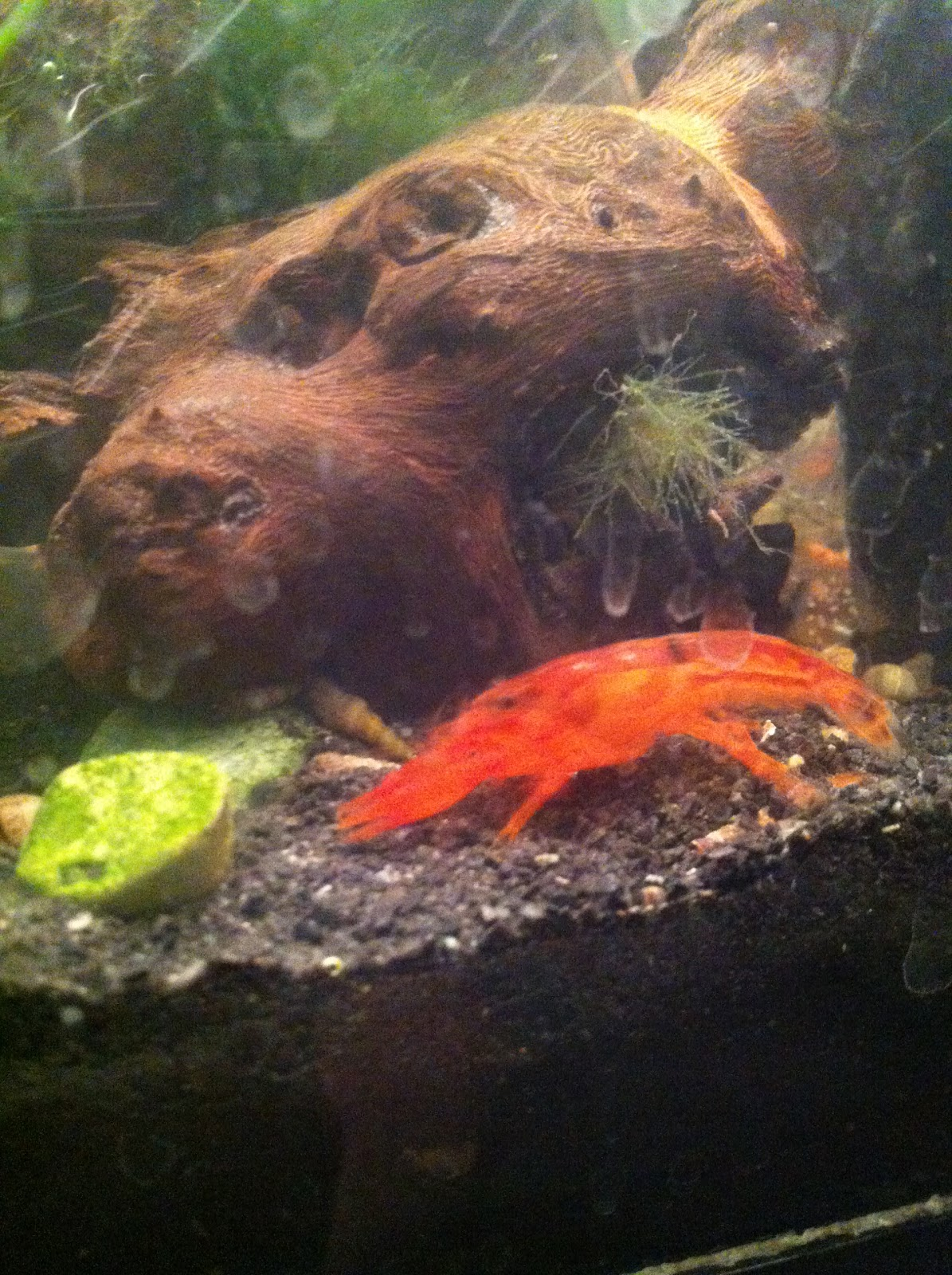 Mini Aquariums: Dwarf Orange Crayfish